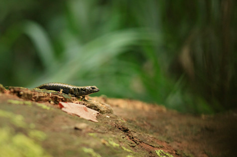 Murray's Skink D'Aguilar National Park, Queensland, Australia