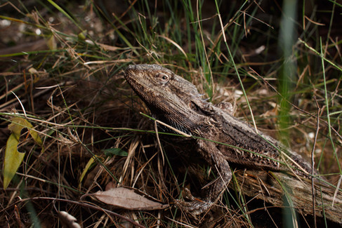 Eastern Bearded Dragon (Pogona barbata) Brisbane, Queensland, Australia