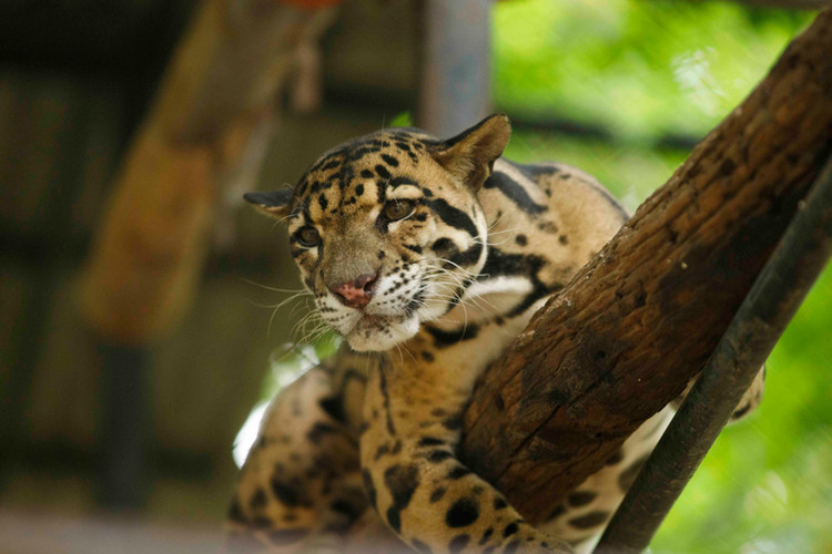 Clouded Leopard Popork rests on a branch in his enclosure at Wildlife Alliance managed Phnom Tamao wildlife rescue centre in Cambodia.