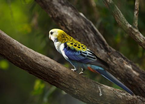 Yellow-Headed Rosella Brisbane, Queensland, Australia
