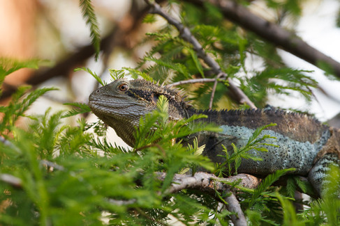 Eastern Water Dragon (Intellagama lesueurii) Brisbane City Botanica Gardens, Queensland, Australia