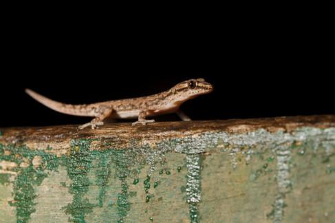 Asian House Gecko (emidactylus frenatus) Brisbane, Queensland, Australia