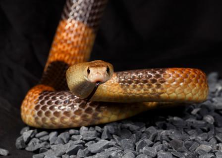 Western Brown Snake (Pseudonaja nuchalis)