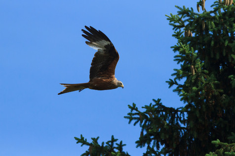 Red Kite (Milvus milvus) photographed in suburban Chalfont, England in 2018.