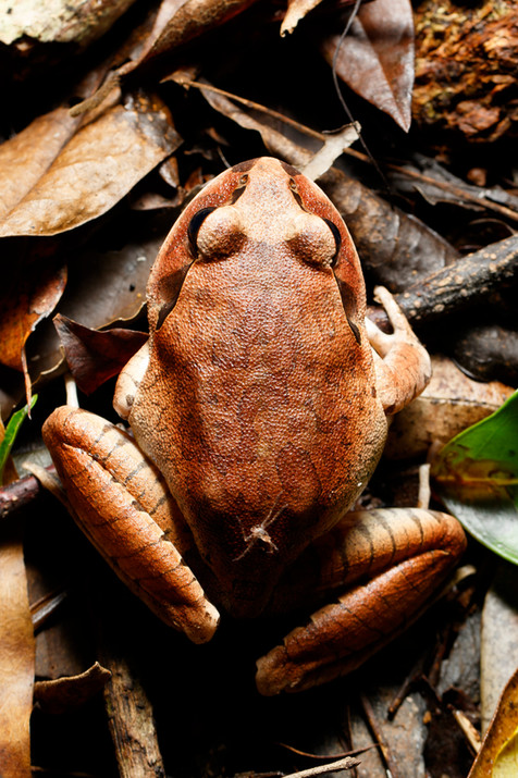 Great Barred Frog (Mixophyes fasciolatus) Mt Glorious section of D'Aguilar National Park, Queensland, Australia