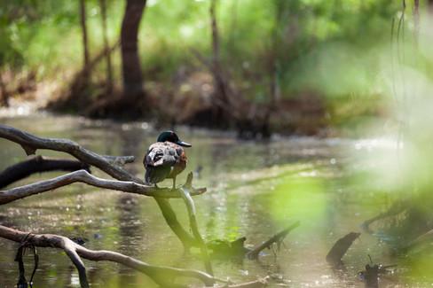 Chestnut Teal Duck (Anas castanea)  Boondall Wetlands, Queensland, Australia