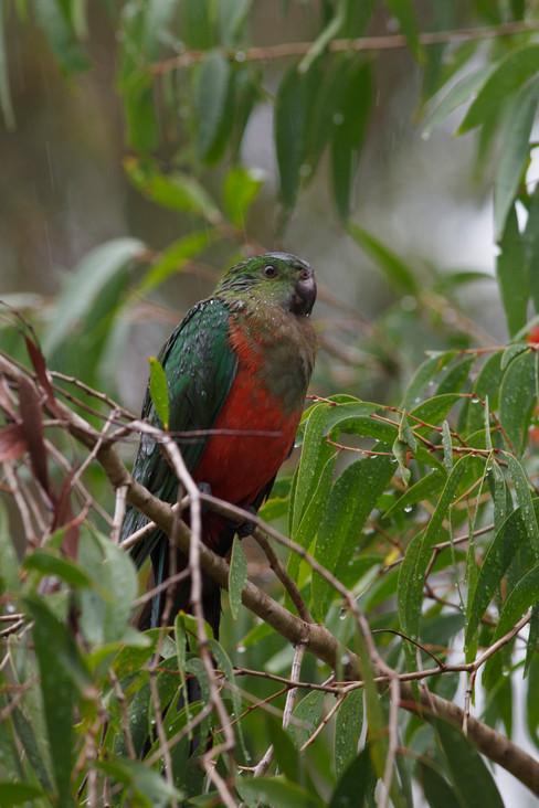 King Parrot female perched during rain Brisbane, Queensland, Australia