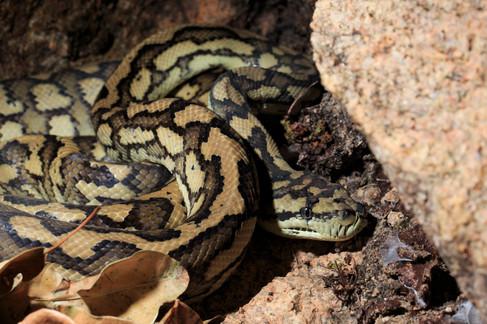 Coastal Carpet Python (Morelia spilota mcdowelli) Magnetic Island, Queensland, Australia