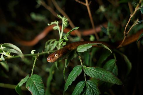 Brown Tree Snake (Boiga irregularis) Lamington National Park, Queensland, Australia