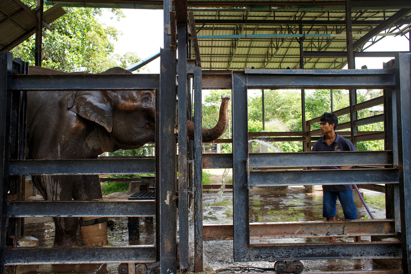Here Asian Elephant Chhouk enjoys a good wash while keepers perform their daily clean out of his sleeping and training quarters at the Wildlife Alliance managed Elephant compound of the Phnom Tamao wildlife rescue centre in Cambodia. Chhouk maintains a 'no food, no love' mentality (as do the other elephants for most of the time), and is rewarded with watermelon and banana treats during training to supplement his one hundred or so kilograms of grasses and sugar cane food each day.