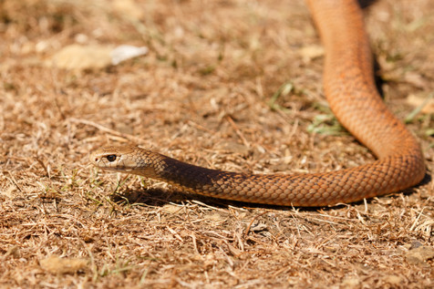 Male Eastern Brown Snake (Pseudonaja textilis) Captive male Brisbane, Queensland, Australia