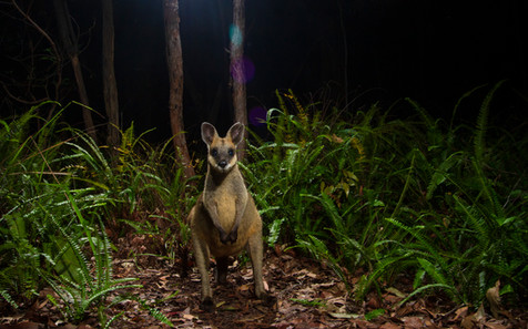 Swamp Wallaby (Wallabia bicolor) photographed with remote dslr camera trap in Brisbane, Queensland, Australia