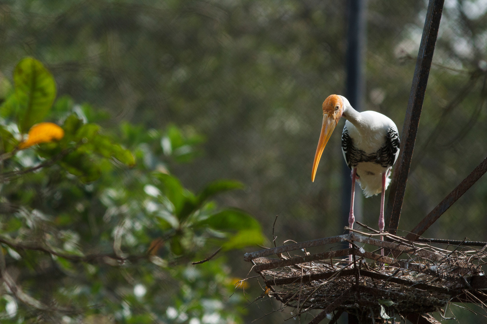Painted Stork in its enclosure at the Phnom Tamao centre