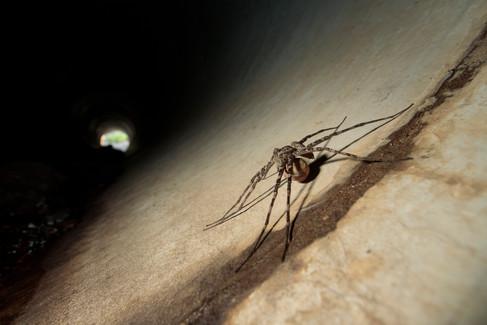 Huntsman Spider female wit egg sac Brisbane, Queensland, Australia