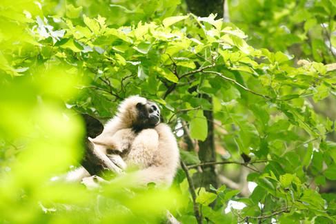 0108Angkor Gibbon Site12062019.JPG