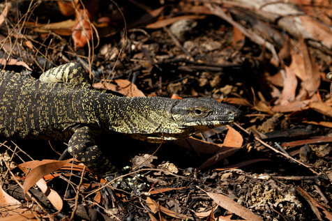 Lace Monitor (Varanus varius) in recently burned area of the Mt Mee section of D'Aguilar National Park, Queensland, Australia