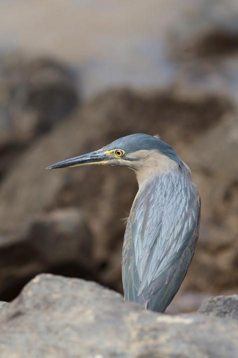 Striated Heron Brisbane, Queensland, Australia
