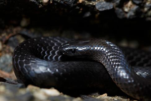 Eastern Small-Eyed Snake (Rhinoplocephalus nigrescens) Lamington National Park, Queensland, Australia