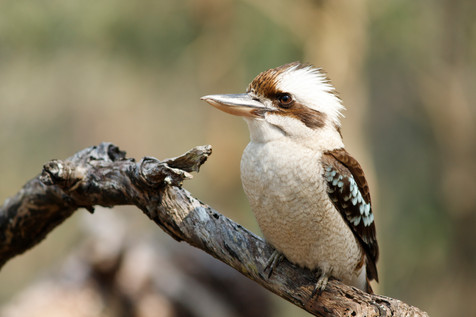 Laughing Kookaburra Brisbane, Queensland, Australia