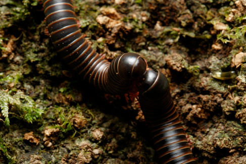 Pair of millipedes mating Mt Glorious section of D'Aguilar National Park, Queensland, Australia