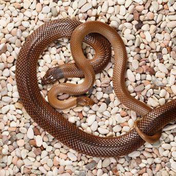 Curl Snakes (Suta suta)