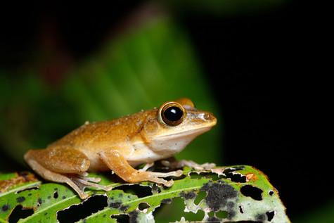 Brown Tree Frog Koh Kong Province, Cambodia