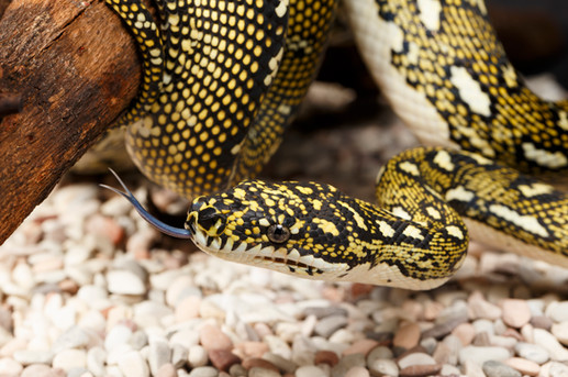 Female Diamond Python (Morelia spilota spilota)