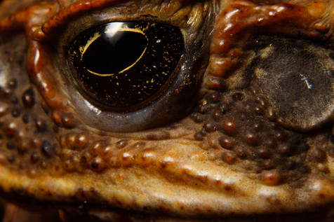 Cane Toad Brisbane, Queensland, Australia