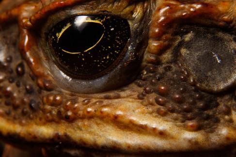 Cane Toad (Rhinella marinus) eye and poison gland Brisbane, Queensland, Australia