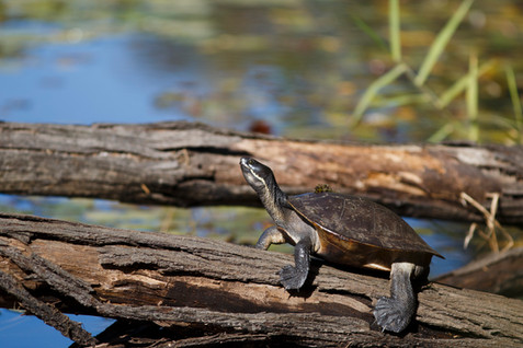 Macquarie River Turtle D'Aguilar National Park, Queensland, Australia