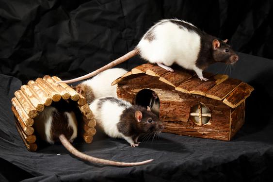 Fancy Rats (Rattus norvegicus domestica)