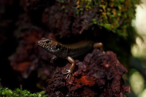 Murray's Skink Lamington National Park, Queensland, Australia