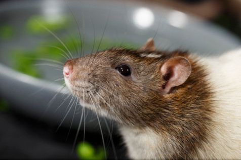 Fancy Rat (Rattus norvegicus domestica) 'fishing' for frozen peas