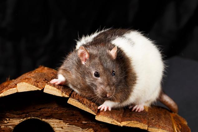 Fancy Rat (Rattus norvegicus domestica)