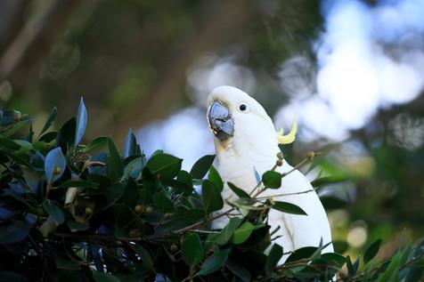 Sulphur-Crested Cockatoo Brisbane, Queensland, Australia