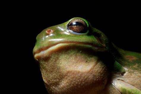 Green Tree Frog Brisbane, Queensland, Australia