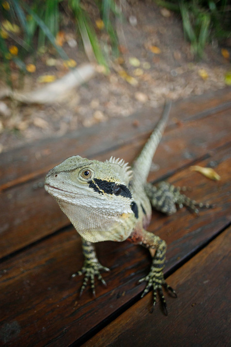 Eastern Water Dragon South Bank, Queensland, Australia