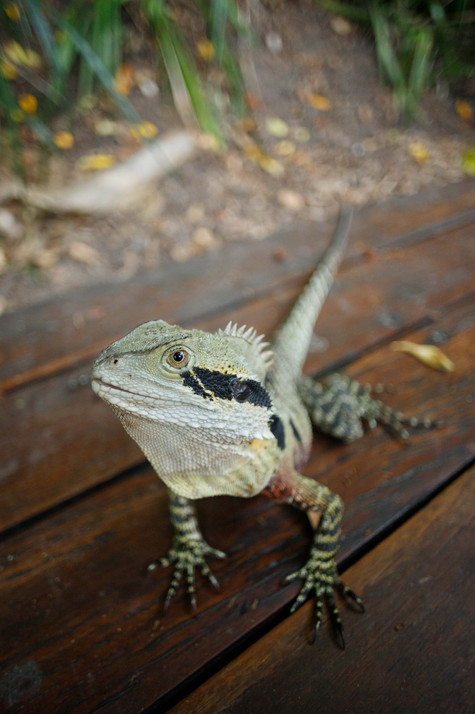 Eastern Water Dragon South Bank, Queensland, Australia