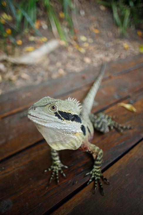 Eastern Water Dragon (Intellagama lesueurii) South Bank, Queensland, Australia
