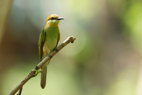 Green Bee Eater Cambodia