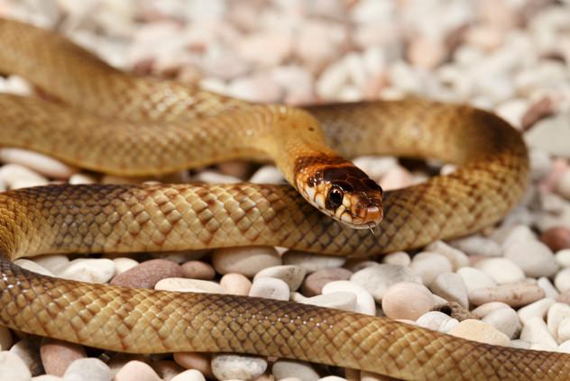 Juvenile Strap-Snouted Brown Snake (Pseudonaja aspidorhyncha)