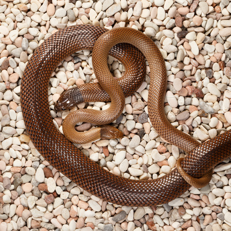 Curl Snakes (Suta suta)  Captive females Brisbane, Queensland, Australia