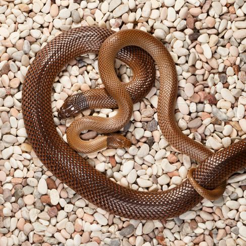 Curl Snakes (Suta suta)  Captive females Brisbane, Queensland, Australia