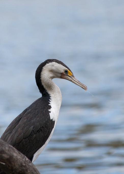 Great Cormorant Brisbane, Queensland, Australia