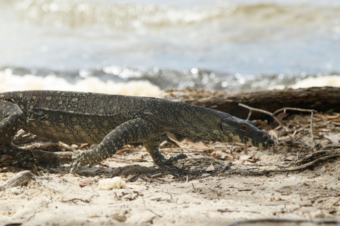 Lace Monitor (Varanus varius) foraging on the bank of Lake Cootharaba, Queensland, Austrlalia, 2020