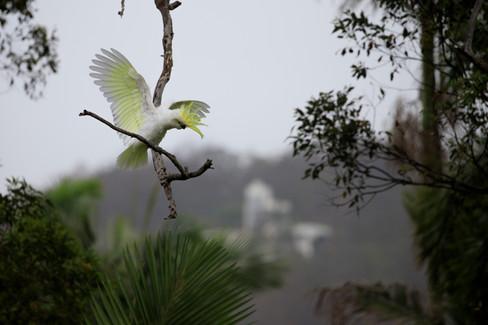 Suplhur-Crested Cockatoo Brisbane, Queensland, Australia