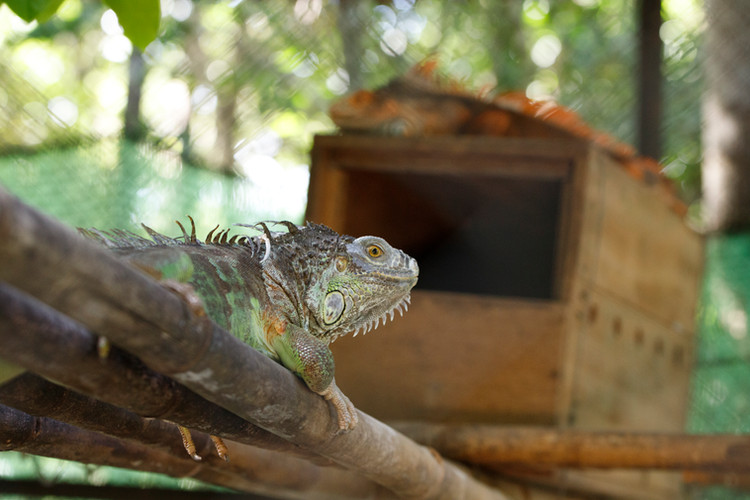 Many residents of Phnom Tamao Wildlife Rescue Centre are animals rescued from the pet trade, where they are often mistreated or simply kept by people unprepared to care for them. These Iguanas are natives of Central and South America.