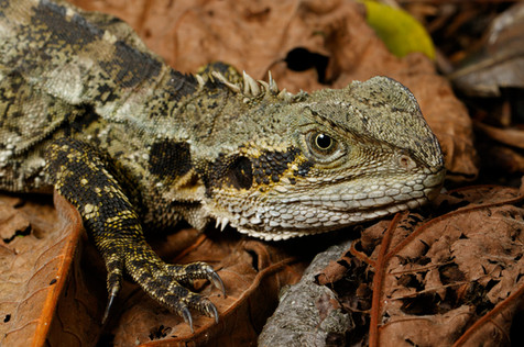 Eastern Water Dragon (Intellagama lesueurii) in leaf litter Brisbane, Queensland, Australia
