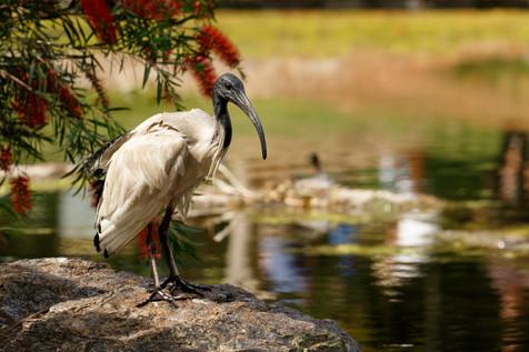 Australian White Ibis (Threskiornis moluccus)  Brisbane, Queensland, Australia
