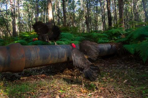 Brush Turkeys Brisbane, Queensland, Australia